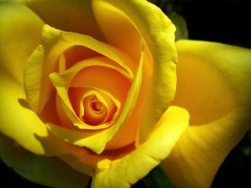 Yellow opens to shine within